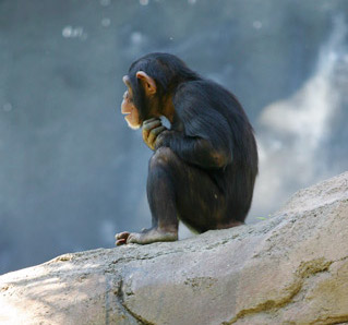 Chimp thinker